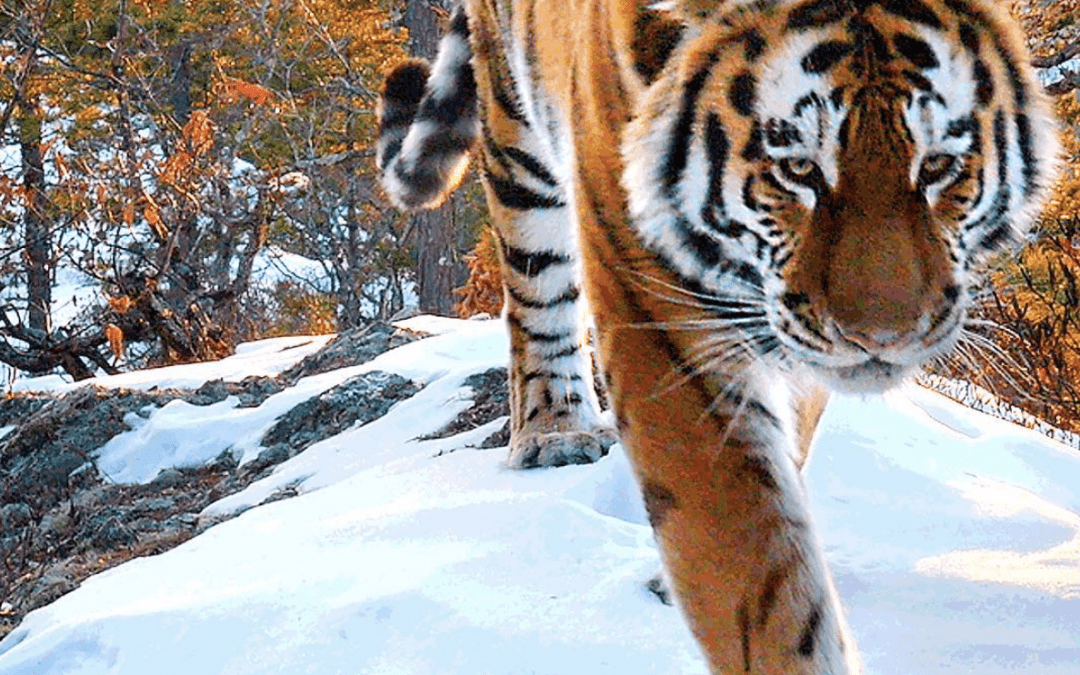 NETFLIX OUR PLANET – SIBERIAN TIGERS FILMED WITH THE TSHED 4K TRAIL CAMERA SYSTEM